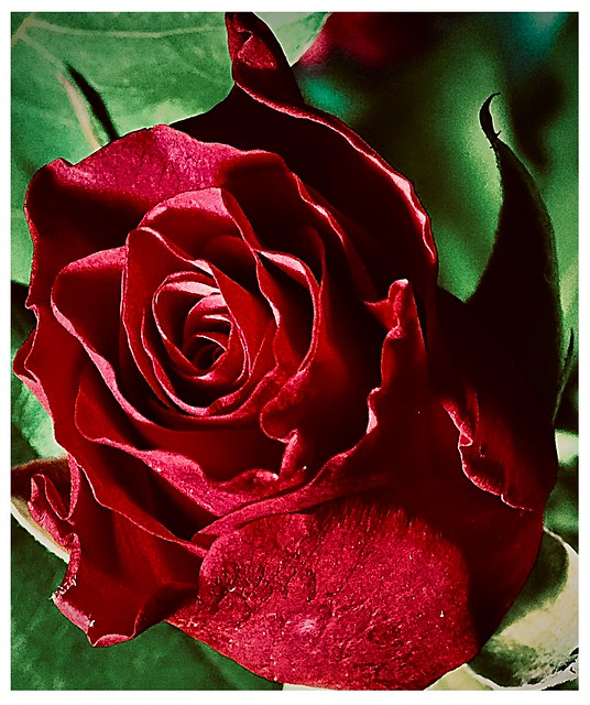 Dark Crimson Rose