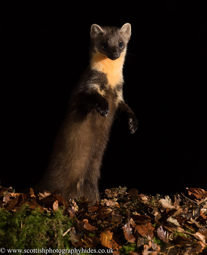 16th October 2020  Pine Marten | by Alan McFadyen