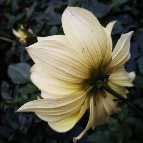 smileonsaturday floriography yellowdahlia bug