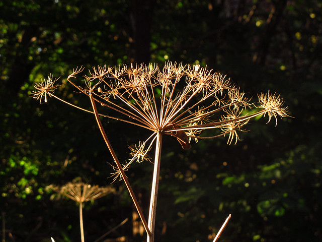 Dried Umbel in Afternoon Light