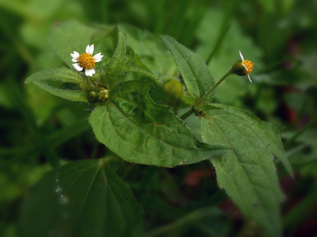 Kleinblütiges Franzosenkraut (Galinsoga parviflora)