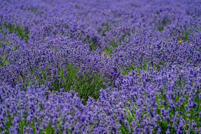 Beautiful field of purple lavender at a lavender farm