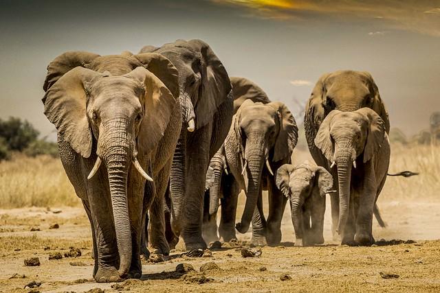 famille éléphants de face en soirée-2