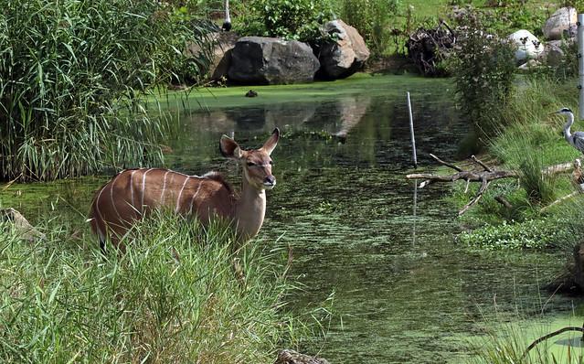 greater kudu Blijdorp 094A1111