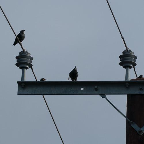 Starlings on a pylon