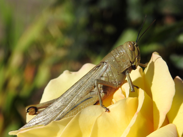 The Cricket/Grasshopper