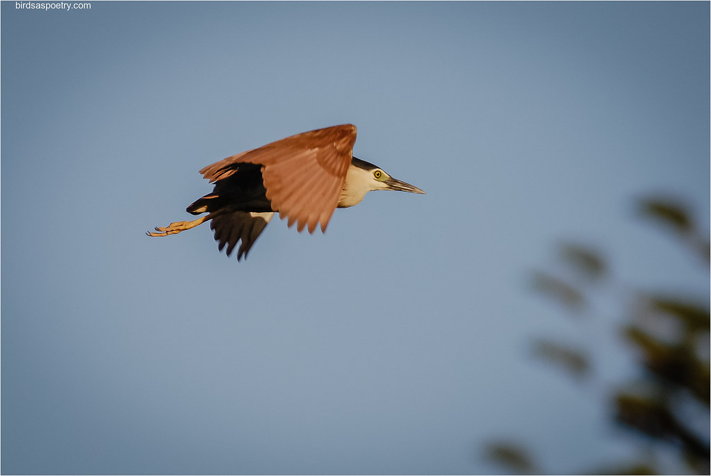 Nankeen Night Heron: On the Move