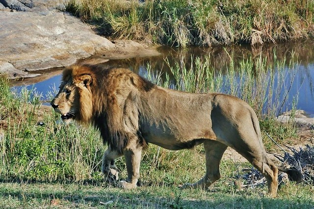 Male Lion On The Move (Panthera leo)