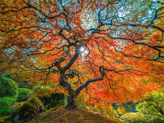 The Tao of the Portland Japanese Garden Fujifilm GFX100: Japanese Maple Tree Mixed Autumn Colors: Yellow Orange Green Red Leaves Fine Art Landscape Nature Photography! Elliot McGucken Master Medium Format Photographer! Fuji GFX 100 Zen Tao Photography