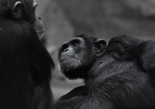 Schimpansen-Paar; a chimpanzee couple