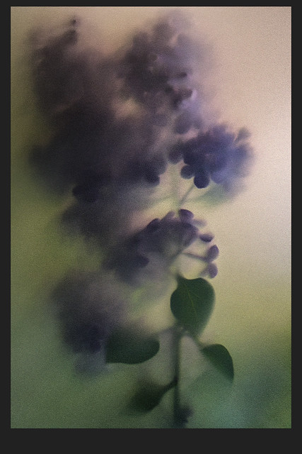 Expression of a lilac...