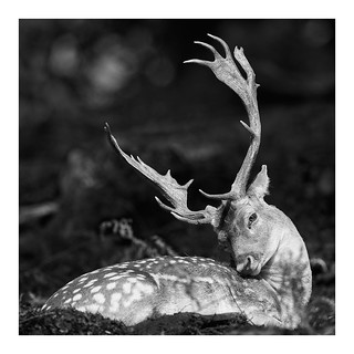 Fallow deer under the sun | by clic.clac75