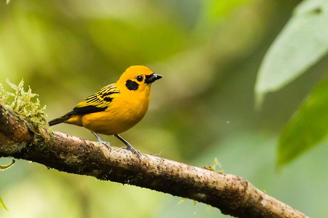0P7A0894  Golden Tanager, Ecuador