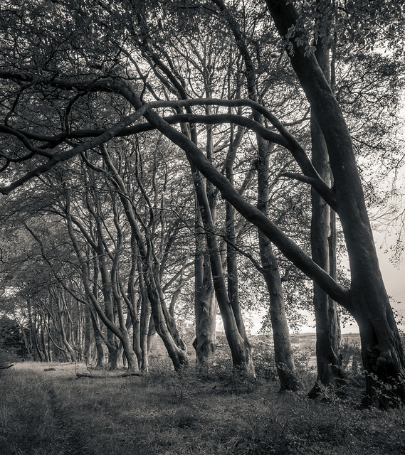 Line of Trees, Lochwinnoch, Renfrewshire, Scotland, UK