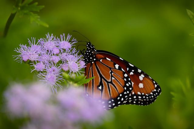Perdenales Monarch -9160