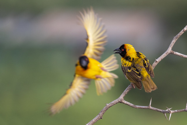 Black Headed Weaver