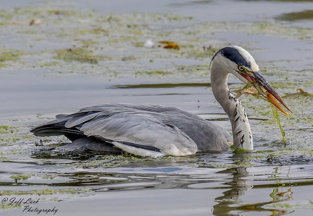DSC3163 Grey Heron...
