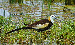 The pheasant-tailed jacana (Hydrophasianus chirurgus) | by Chandana Witharanage
