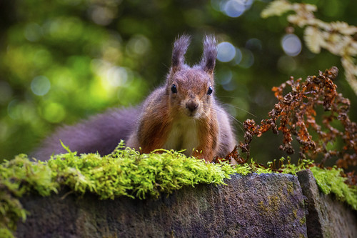 Red Squirrel | by ca2cal