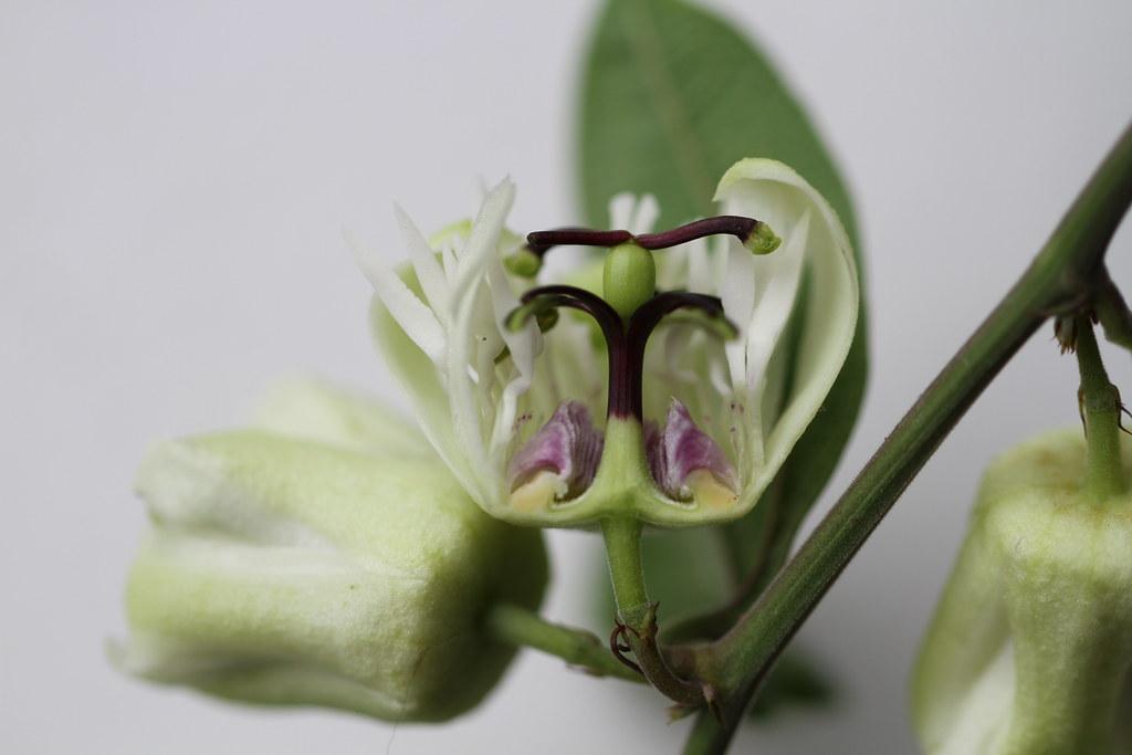 Passiflora aff. porophylla Vell.
