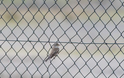 Barred warbler - Sylvia nisoria - Sperwergrasmus