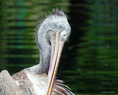Meditating Pelican