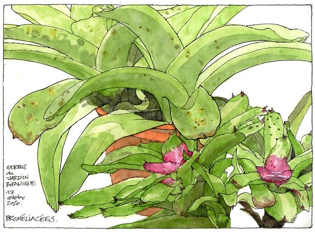 Broméliacées