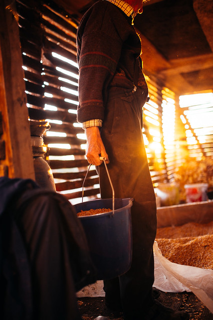 Old man holding a bucket full of corn kernels in his barn.