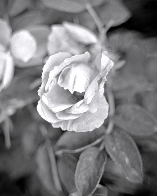 White Rose Macro_Raymond NH