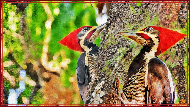 Lineated Woodpecker Pairs