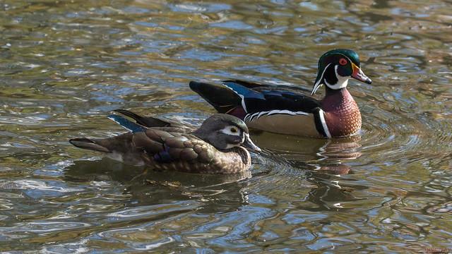 Canards branchus  - Wood duck, couple - Québec, Canada - 9910
