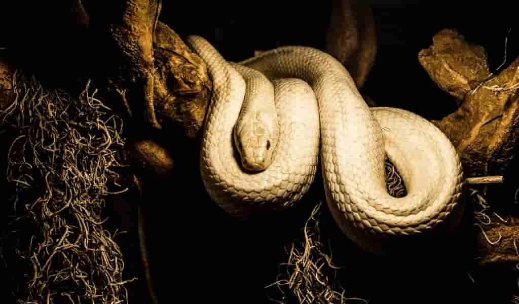 Un python a essayé de manger une femme endormie