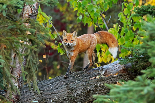 Little Female Red Fox Posing On Her Favorite Elevated Lookout
