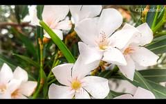 Espirradeira Branca (Nerium Oleande)