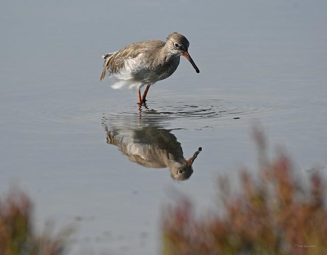 Chevalier gambette Tringa totanus - Common Redshank