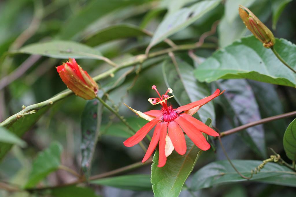 Passiflora tholozanii Sacco
