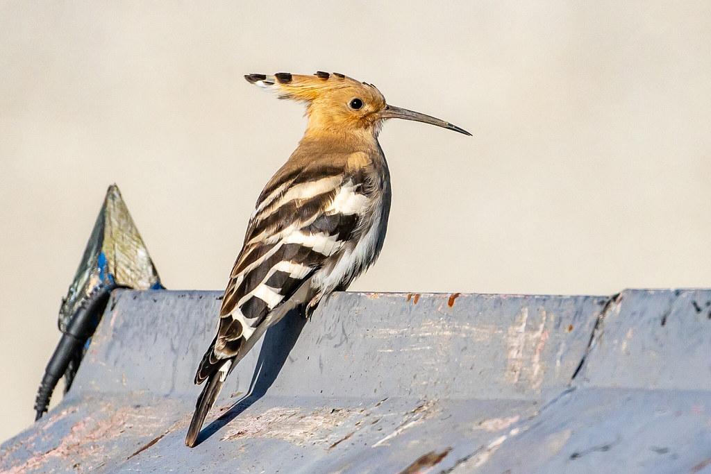 Hoopoe   bird name