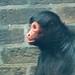 "<p><a href=""https://www.flickr.com/people/tommyajohansson/"">tommyajohansson</a> posted a photo:</p>  <p><a href=""https://www.flickr.com/photos/tommyajohansson/50498591838/"" title=""Guiana spider monkey""><img src=""https://live.staticflickr.com/65535/50498591838_030c80a02b_m.jpg"" width=""160"" height=""240"" alt=""Guiana spider monkey"" /></a></p>"