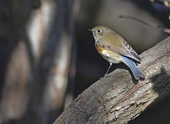 Red Flanked Bluetail 3