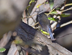 Red Flanked Bluetail 2