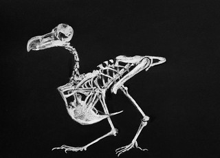 Study of a Skeleton. Dodo. Polychromos Pencil drawing by jmsw on black card. Last stage of 3. Only on this site. Just for Fun.