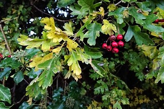 Signs of autumn: red hawthorn berries Wed 14 Oct 20: one half... | by JDavid Jenkins