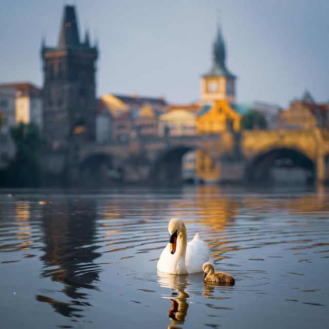 Swans in front of Charles Bridge, Prague