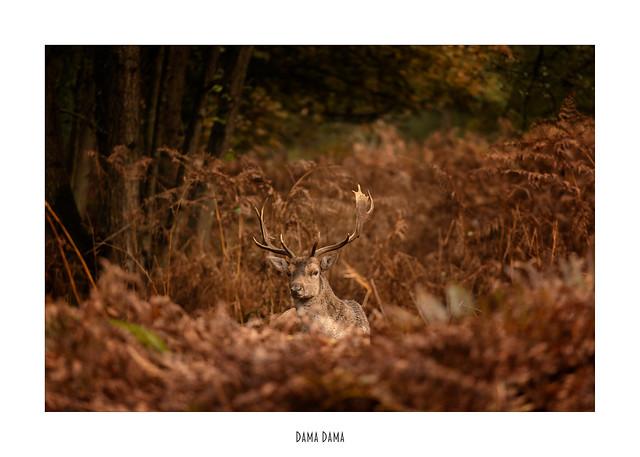 Damhert - Fallow Deer