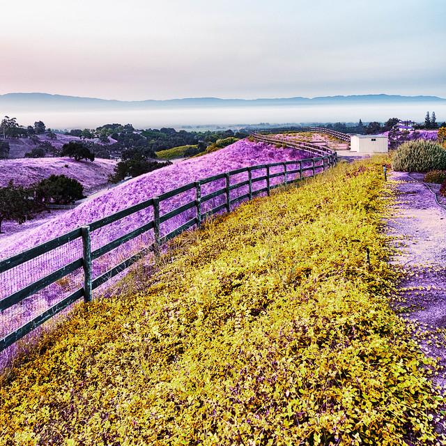 Santa Ynez Valley - Purple and Gold