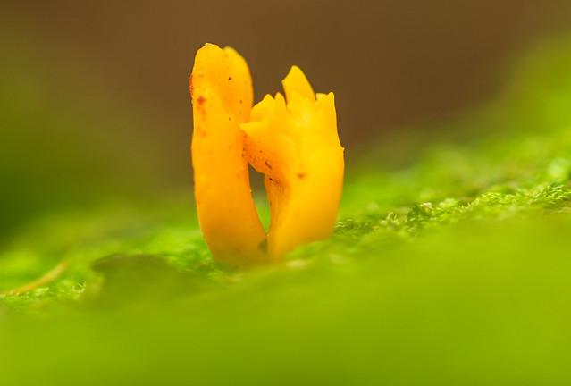 Korallen-Pilz (Ramaria)