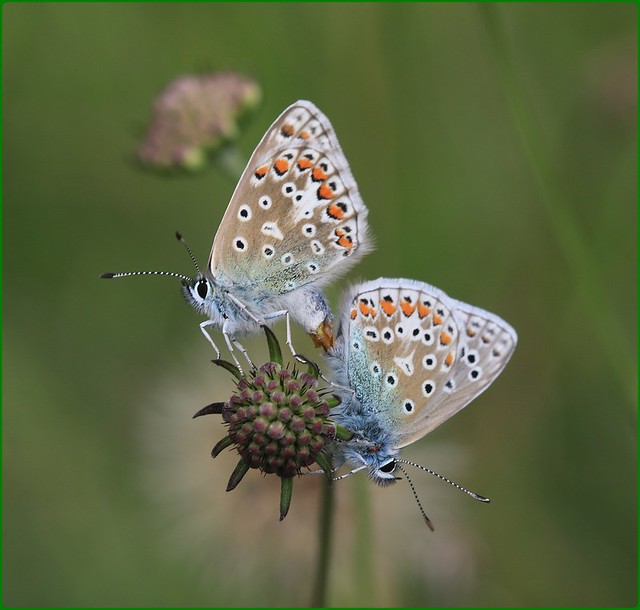 Second Brood Common Blues mating III - Prestbury Hill