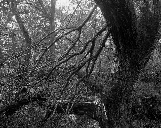 Hyons Wood, Walker Titan SF with Nikkor 90mm, Rollei Ortho 25+ in Hc110