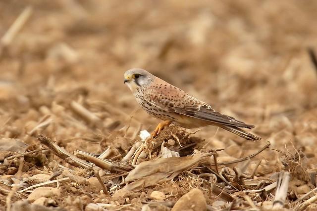 Faucon crécerelle - Common Kestrel (Falco tinnunculus) - Genas - Station d'épuration (Rhône) France, le 29 février 2020