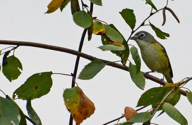 Last minute visit from Blue-headed Vireo on its way south for the winter